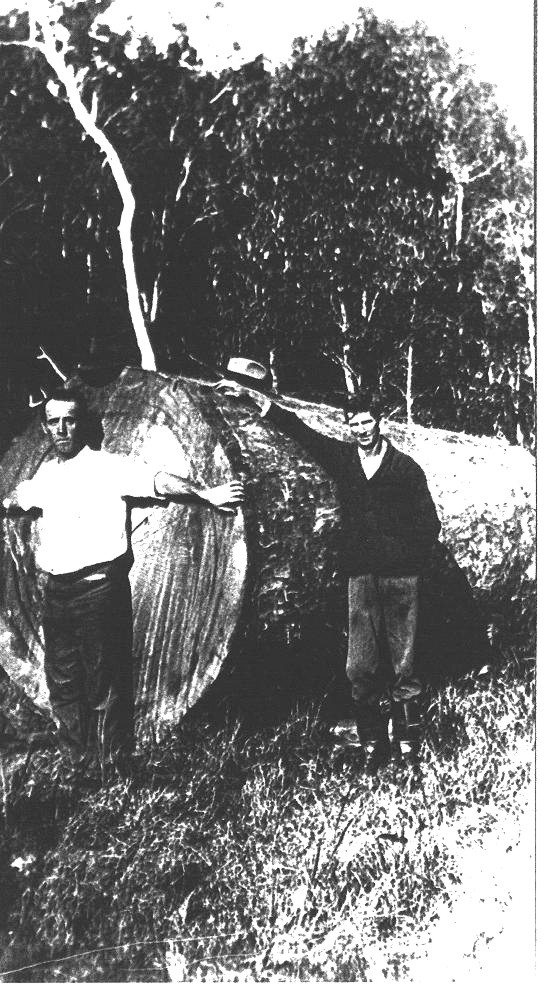 The last of the Kauri pines felled in Mt Bopple Sept 30th 1925